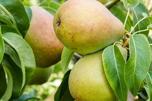 Russet pears