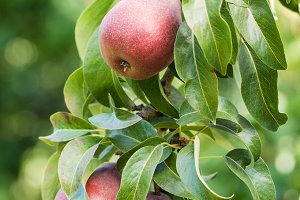 Red pears in orchard