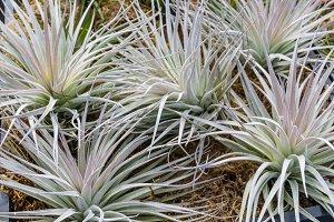 Tillandsia or air plants