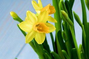 Wild Yellow Daffodils