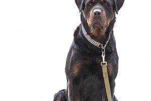 Rottweiler dog isolated on white