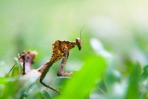 mantis cobra