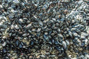 Mussels on rocks near tide
