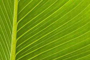 Back lit green leaf