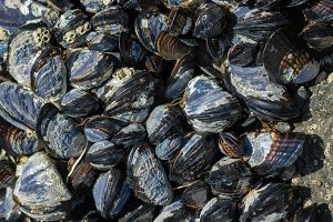 Mussels clinging to rocks