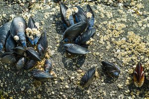 Mussel shells on rocks