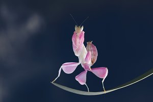 mantis, insect, animal, macro,