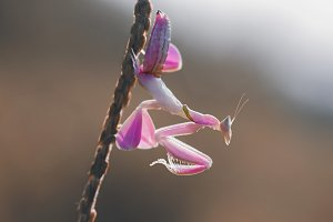 orchid mantis, insect, macro,