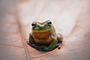 frog, dumpy frog, animal,