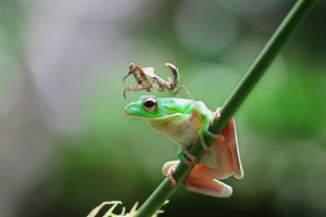 frog and mantis,