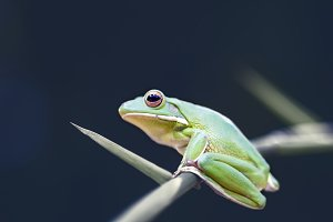 frog, animal, indonesia,