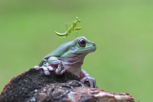 dumpy frog and mantis,