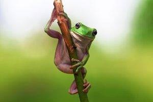 dumpy frog, frog, animal,