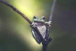 dumpy frog, animal,