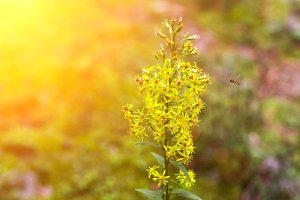 Goldenrod or Solidago yellow flowering plants in rural wisconsin with wasps pollenating late in the year as summer gives way to the fall season
