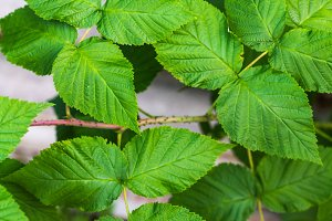 Relief leaves of raspberry. Shallow depth of field