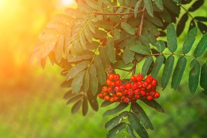 Sluggish rowan berries on a Rowan tree. Autumn.