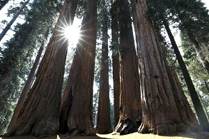 Sequoia Trees in California
