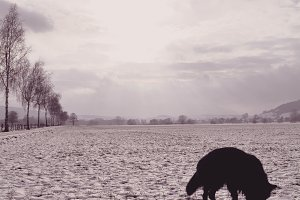 German Shepard on a snowy field