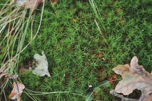 Green forest star moss