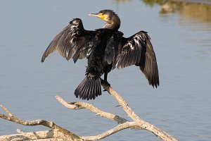 Cormorant.Phalacrocorax carbo