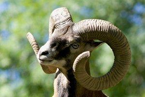 mouflon male