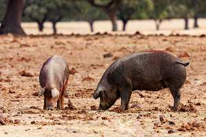 Pigs in the countryside
