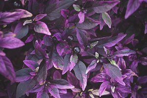 Purple Leaves and Berries