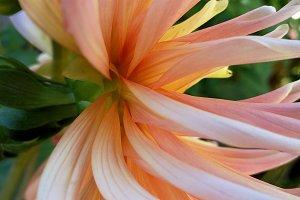 Close up splendid dahlia full sun