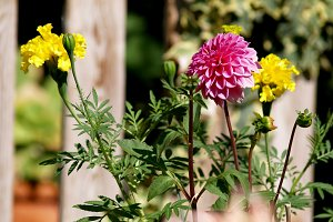Pink Dahlia and yellow tagetes