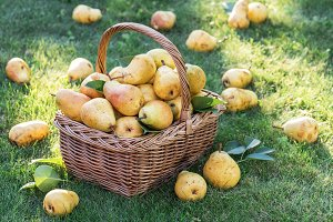 Ripe pears in the basket
