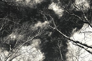Bare plane trees looking to the sky