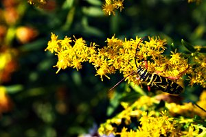 Beetle on Yellow Flowers