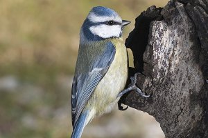 blue tit vertical