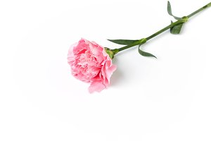 pink carnation flower isolated on white
