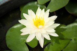 Lotus green.