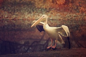 Pelican in the park