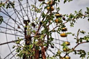 Pripyat wheel Rose