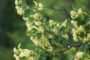 Branches of Flowering Linden