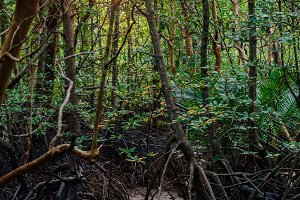 A mangrove forest in Krabi, Thailand
