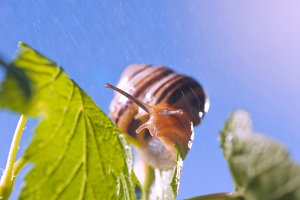 Snail in the rain, in nature