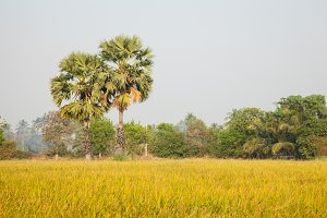 Palm trees in the rice field.