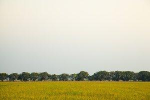 mango trees in rice fields.