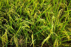 Rice in the rice fields.