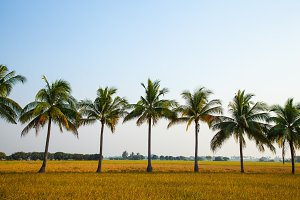 Coconut trees in the rice field.
