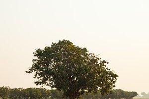 Large tree in rice fields.