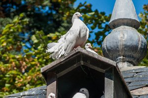 Three white doves