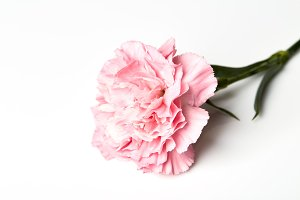 Pink carnation flower on white background