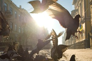 Pigeons taking off at dawn