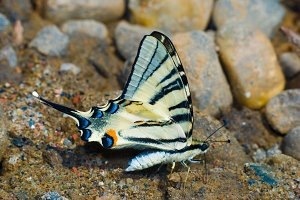 Butterfly on wet sand